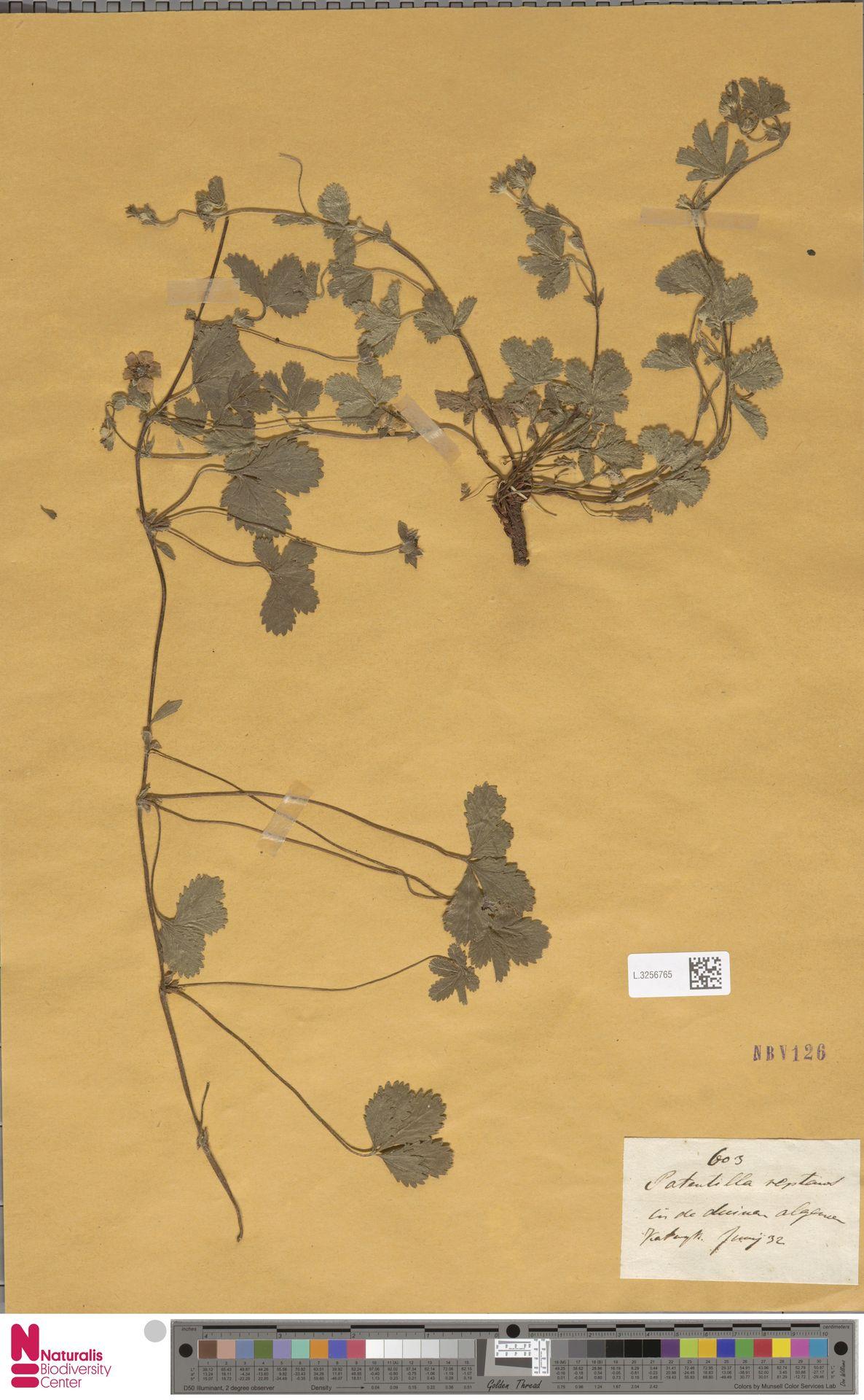 L.3256765 | Potentilla reptans L.