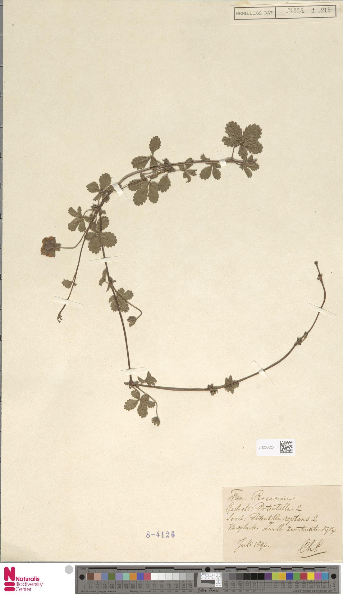 L.3256825 | Potentilla reptans L.
