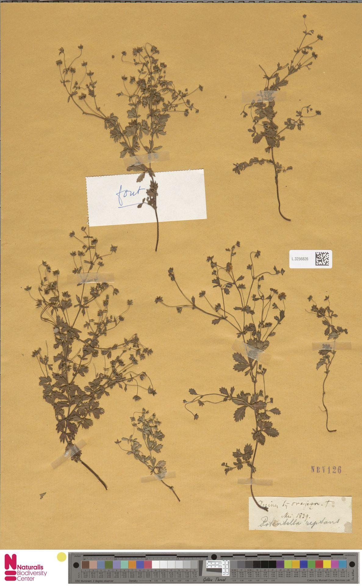L.3256826 | Potentilla reptans L.
