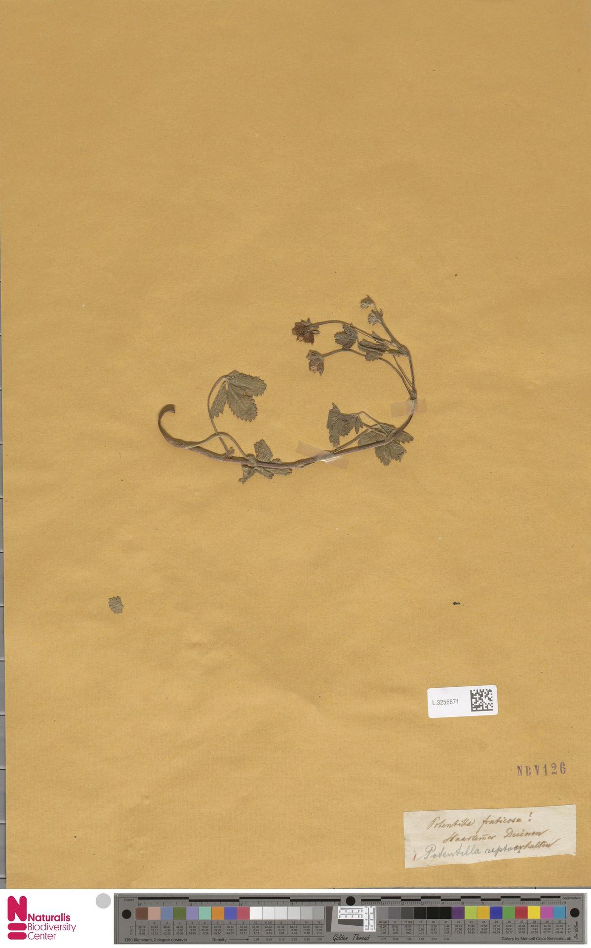 L.3256871 | Potentilla reptans L.