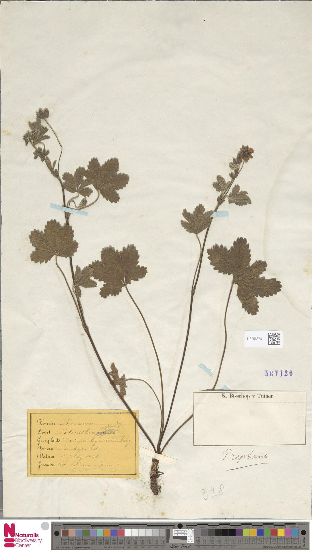 L.3256874 | Potentilla reptans L.