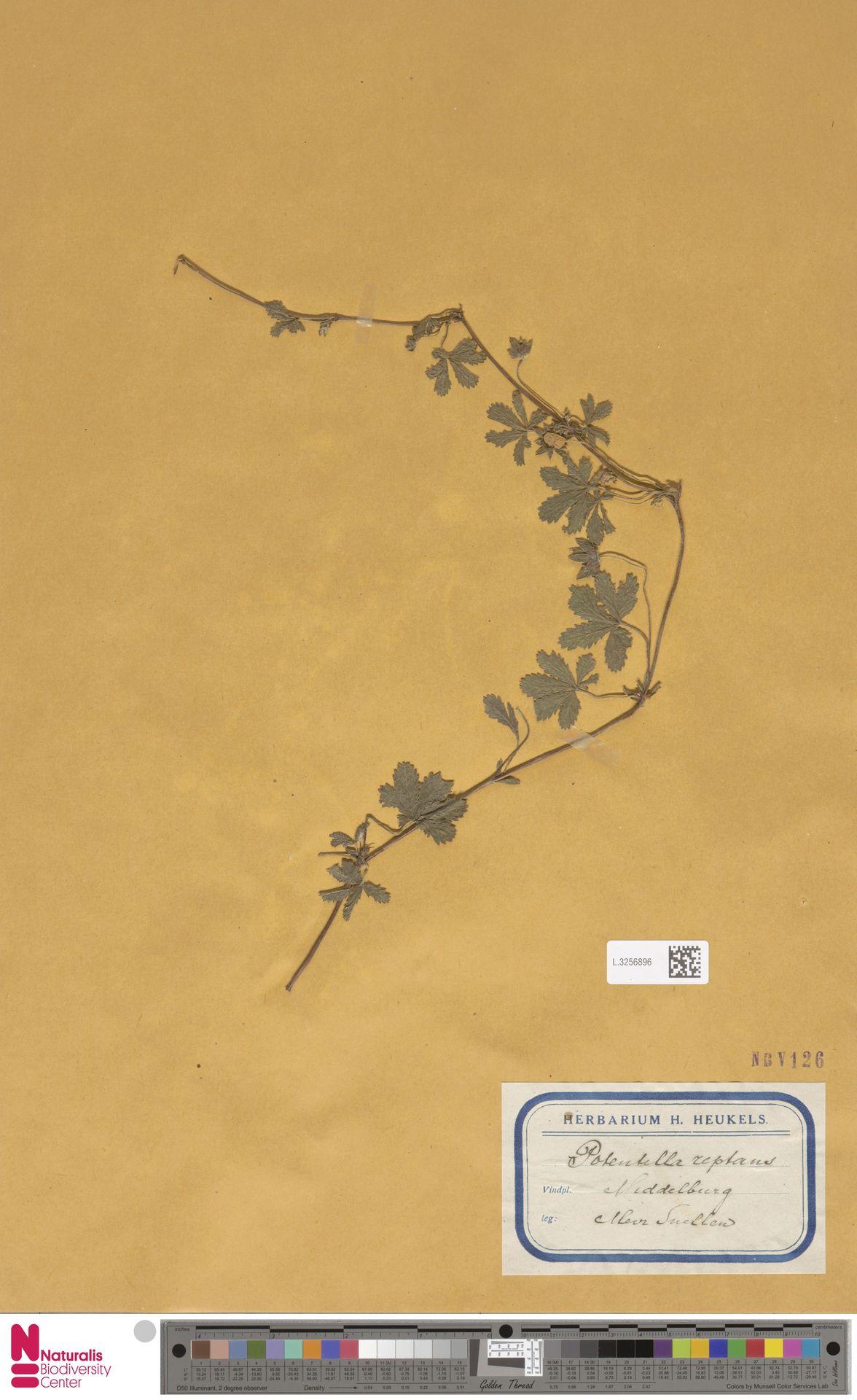 L.3256896 | Potentilla reptans L.