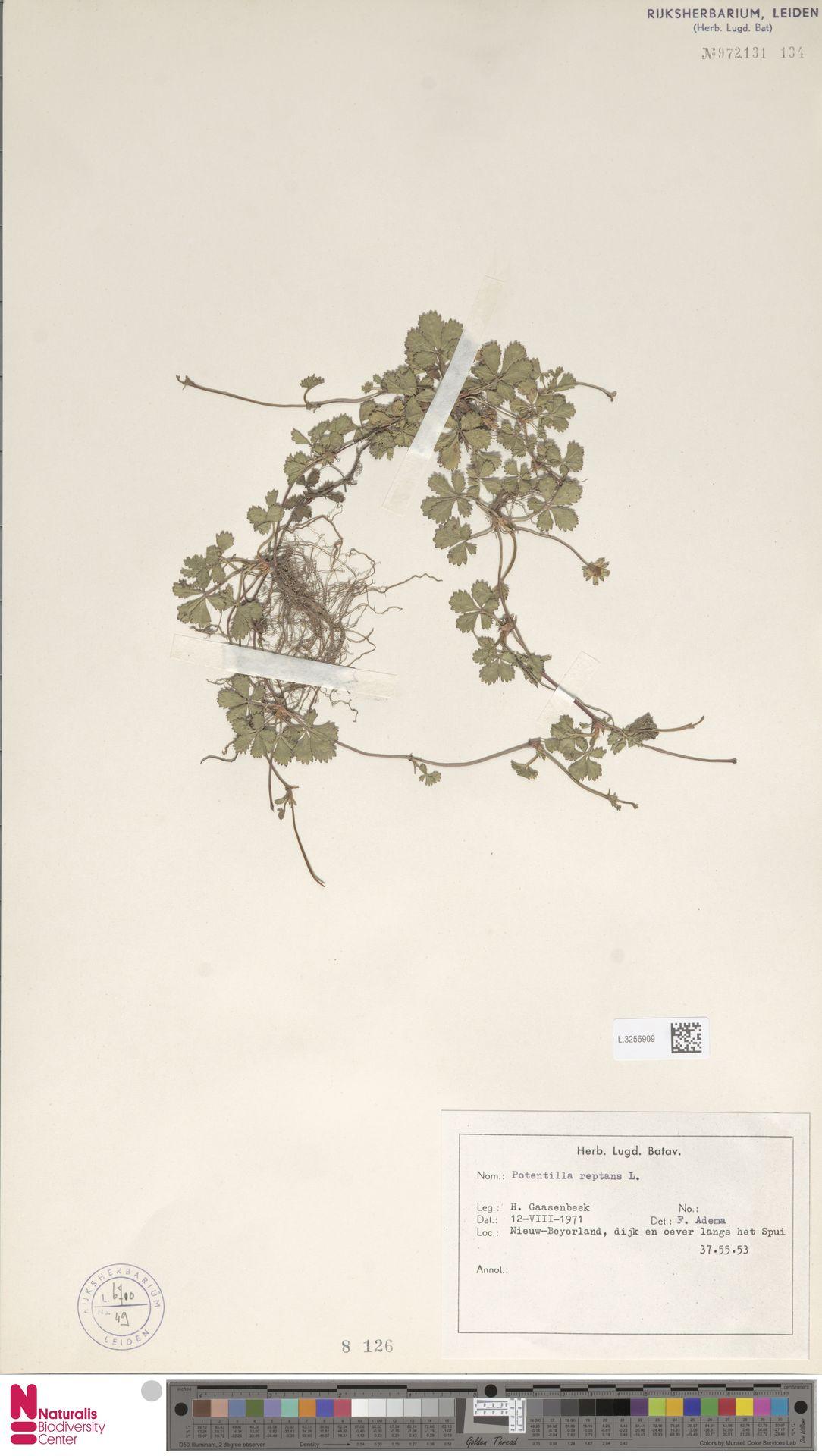 L.3256909 | Potentilla reptans L.