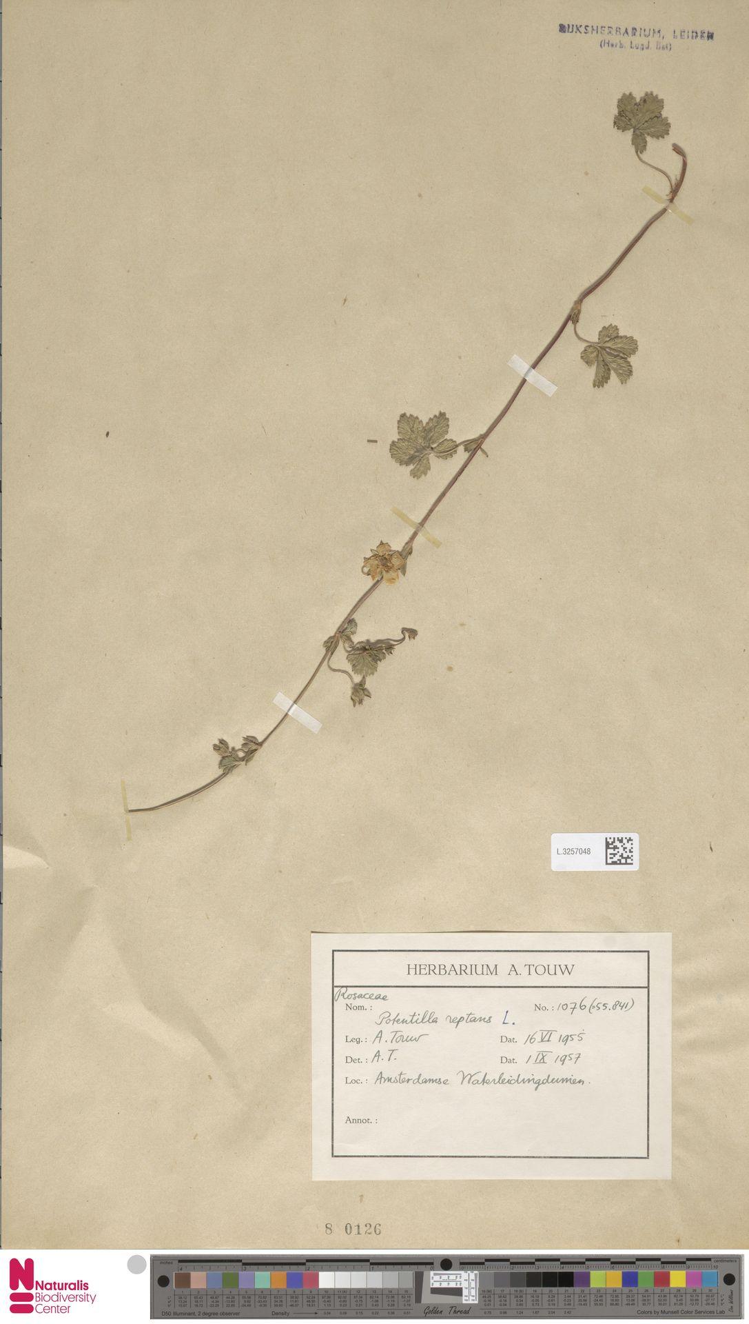 L.3257048 | Potentilla reptans L.