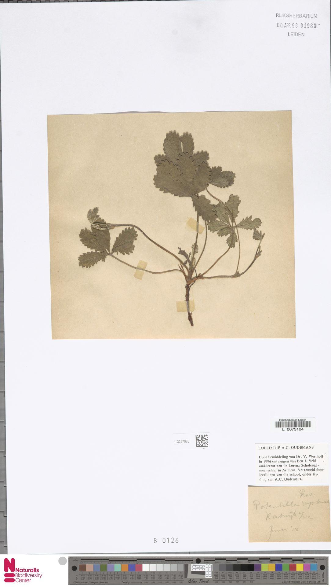 L.3257076 | Potentilla reptans L.