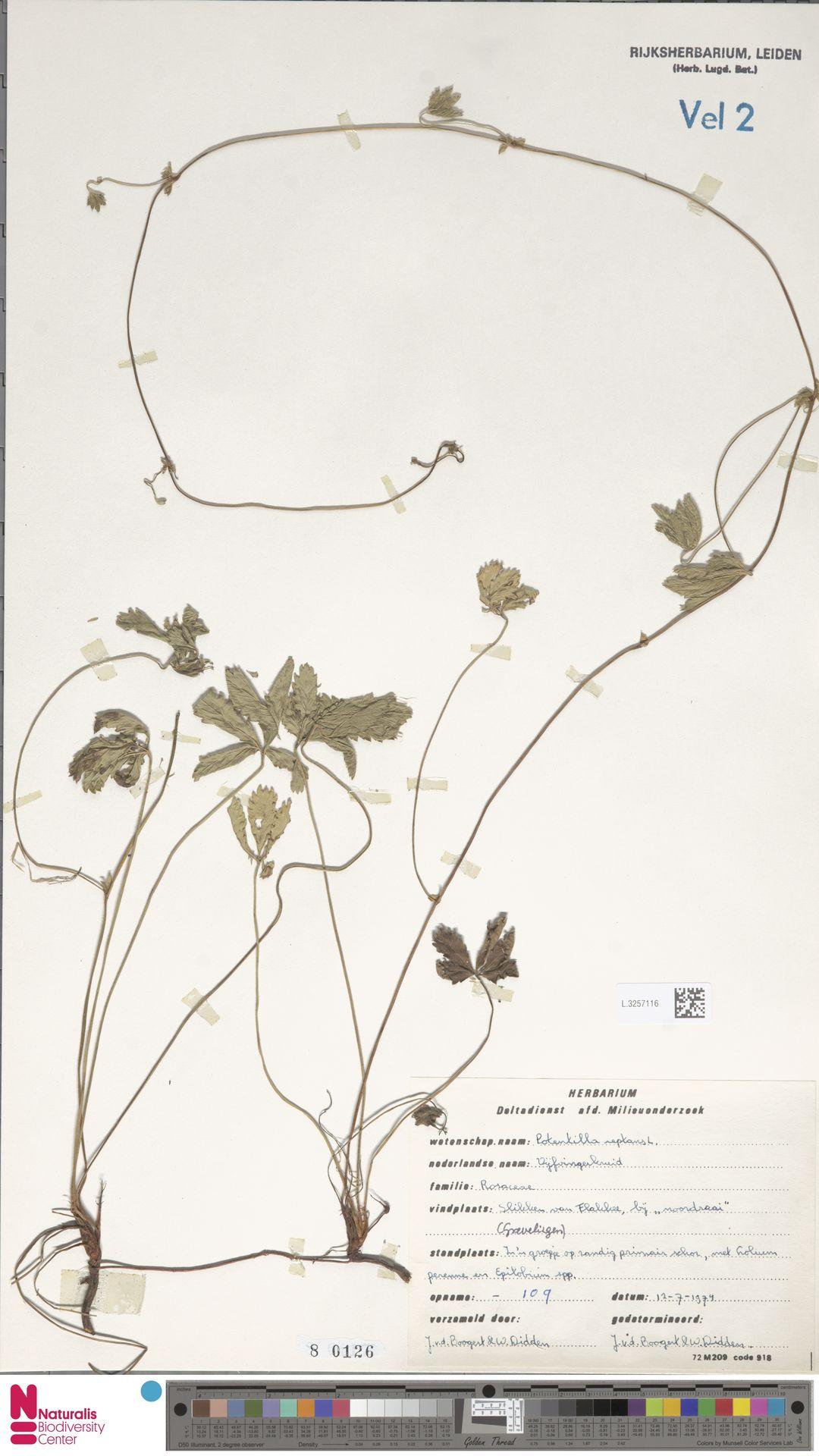 L.3257116 | Potentilla reptans L.