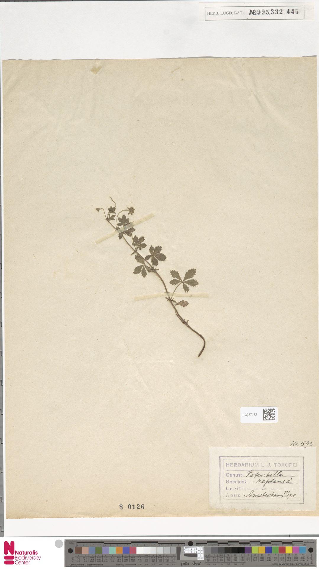 L.3257132 | Potentilla reptans L.