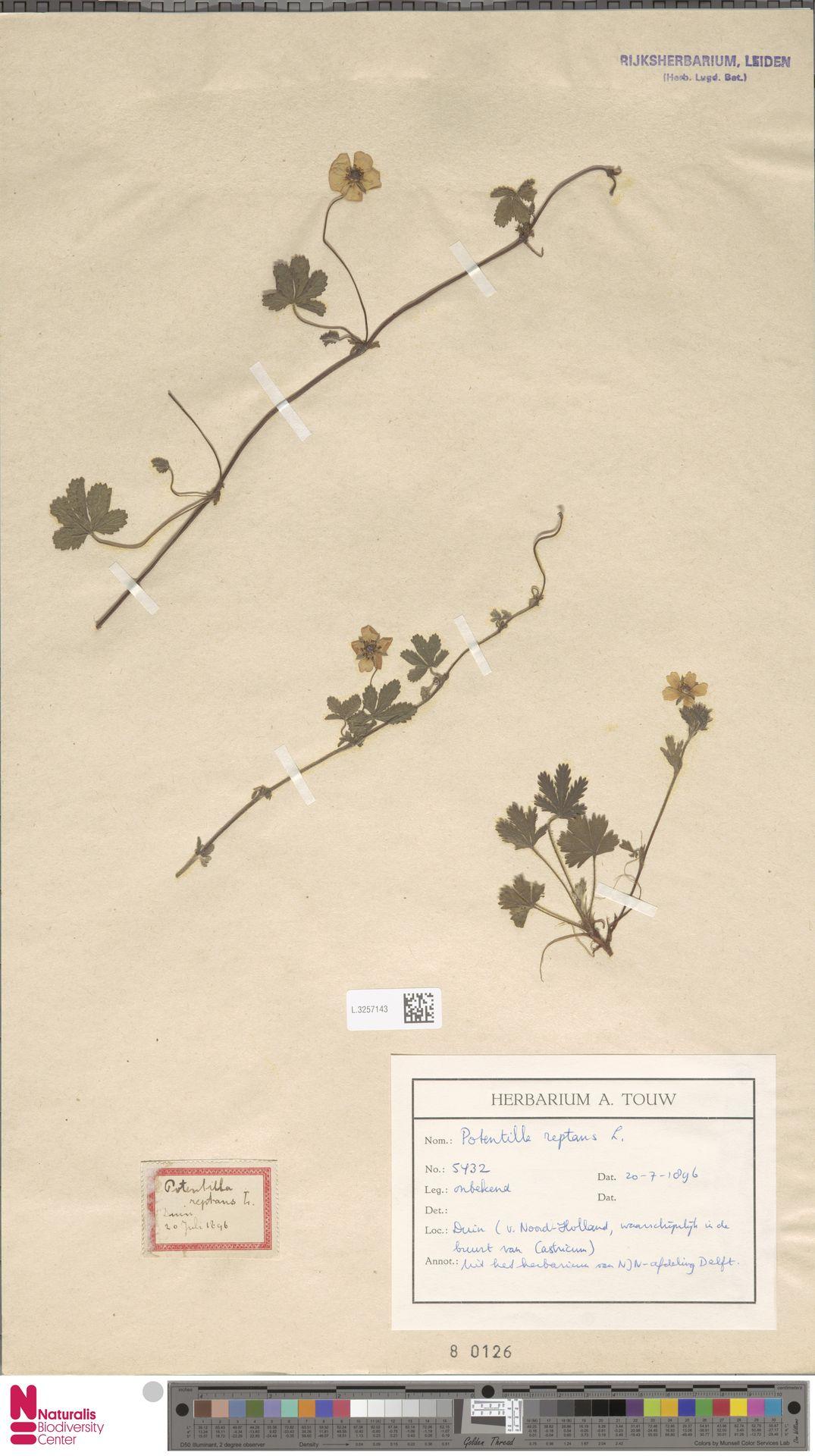 L.3257143 | Potentilla reptans L.