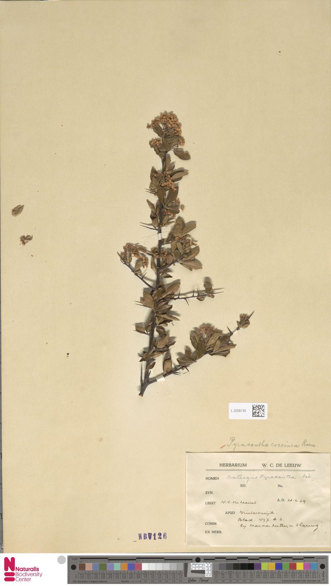 L.3258740   Pyracantha coccinea M.Roem.