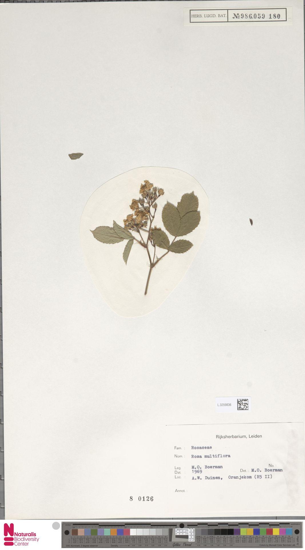 L.3259836 | Rosa multiflora Thunb.