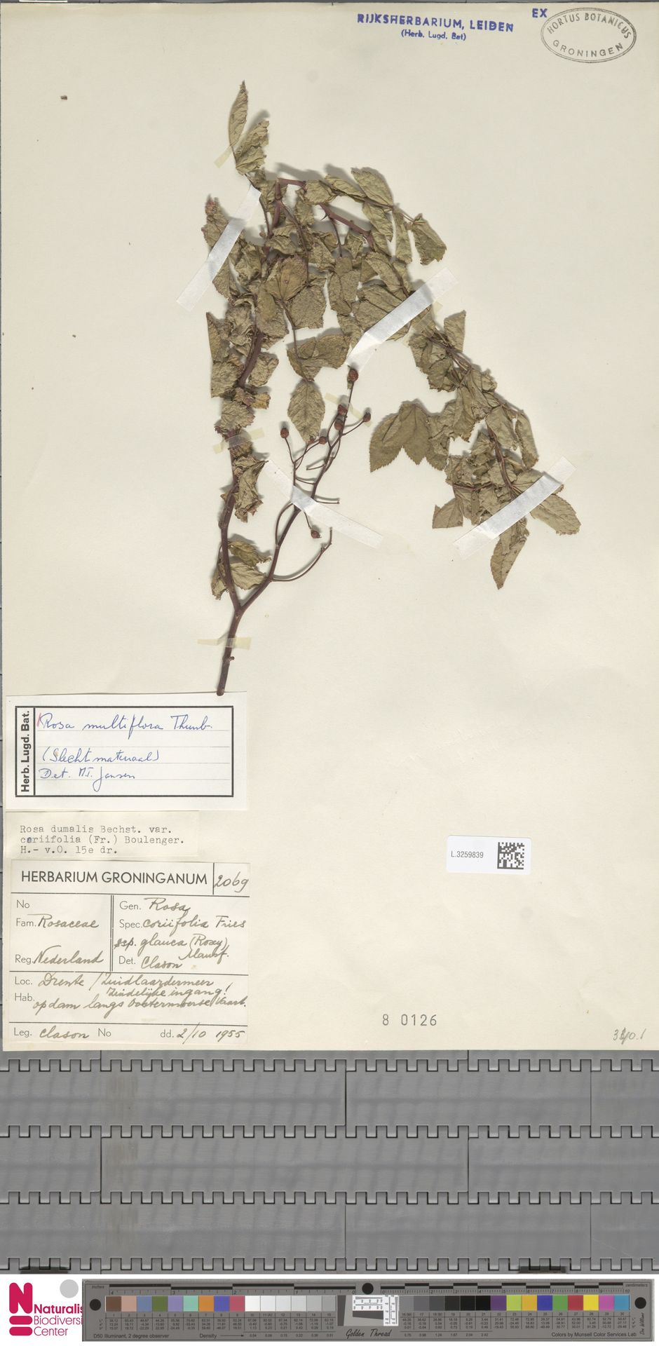 L.3259839 | Rosa multiflora Thunb.