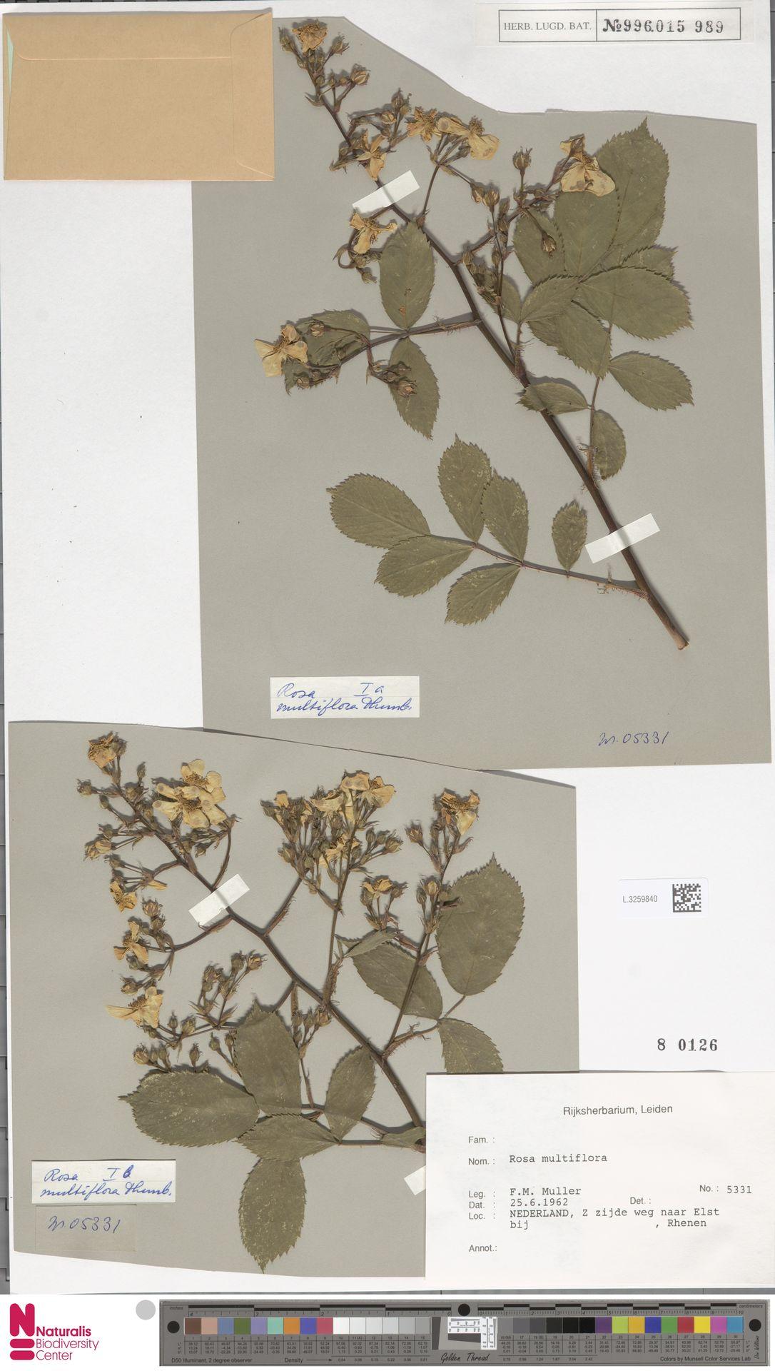 L.3259840 | Rosa multiflora Thunb.