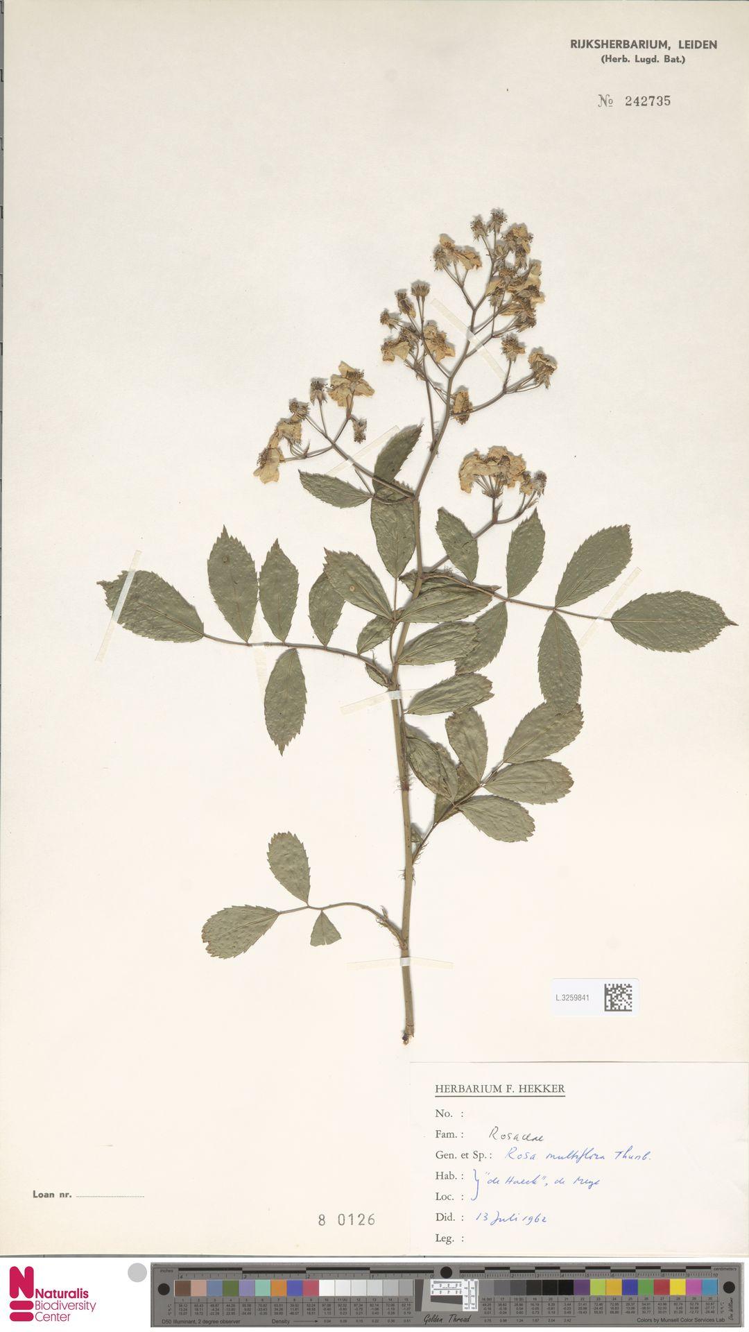 L.3259841 | Rosa multiflora Thunb.