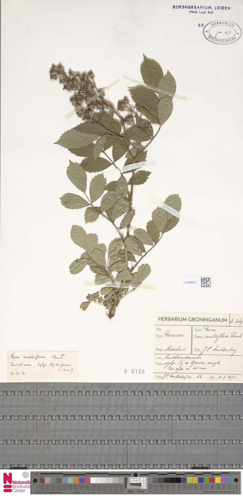 L.3259842 | Rosa multiflora Thunb.