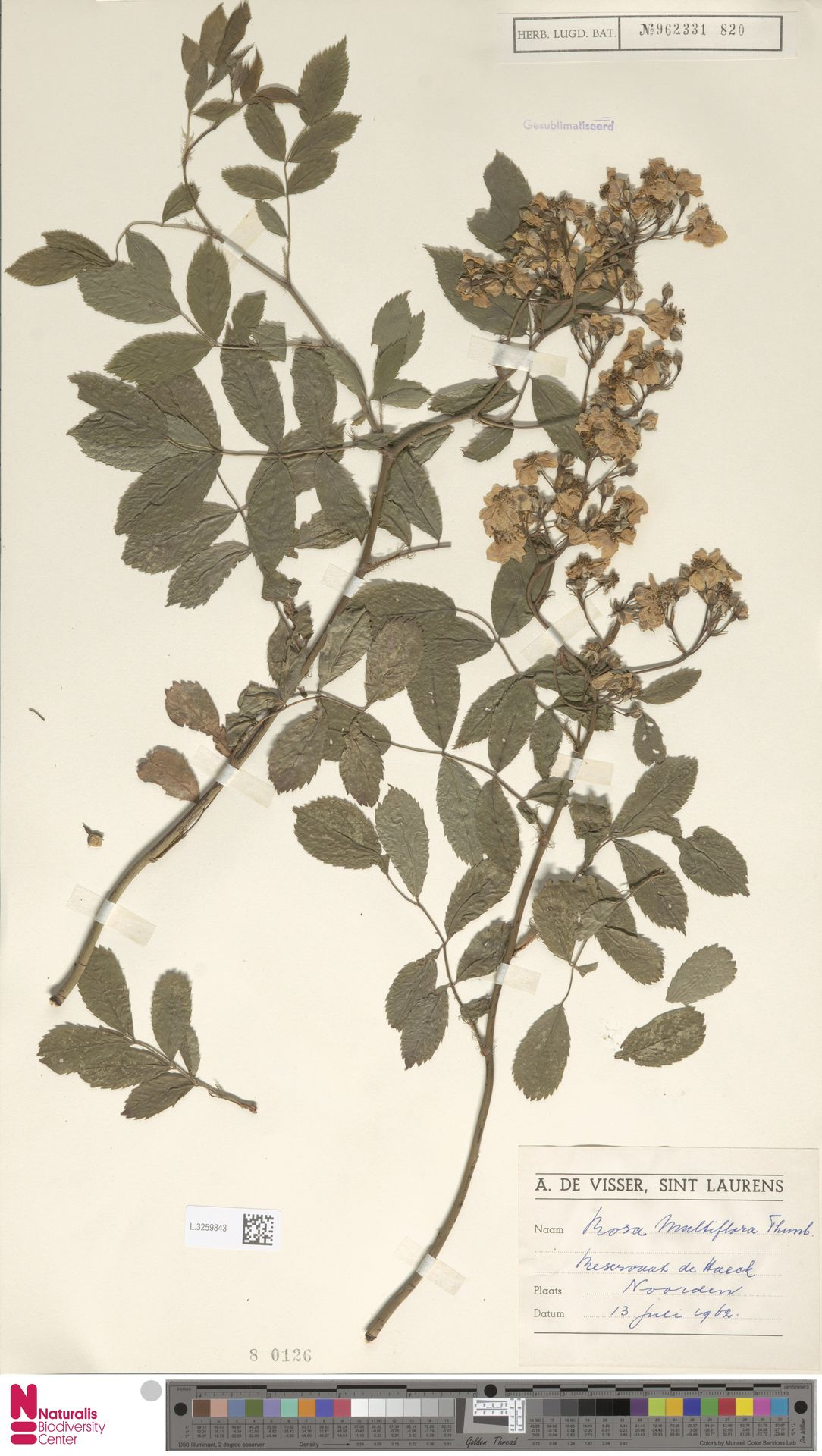 L.3259843 | Rosa multiflora Thunb.