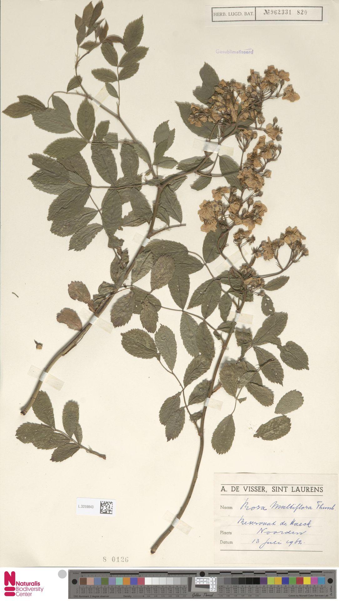 L.3259843 | Rosa multiflora Thunb.