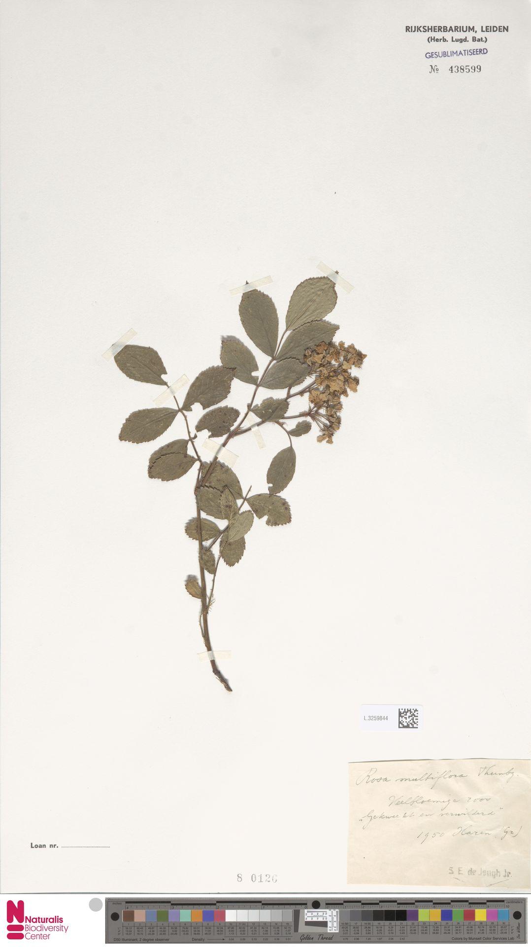 L.3259844 | Rosa multiflora Thunb.