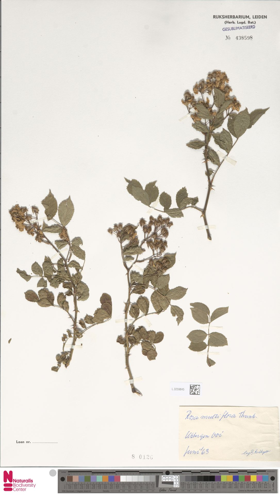 L.3259845 | Rosa multiflora Thunb.