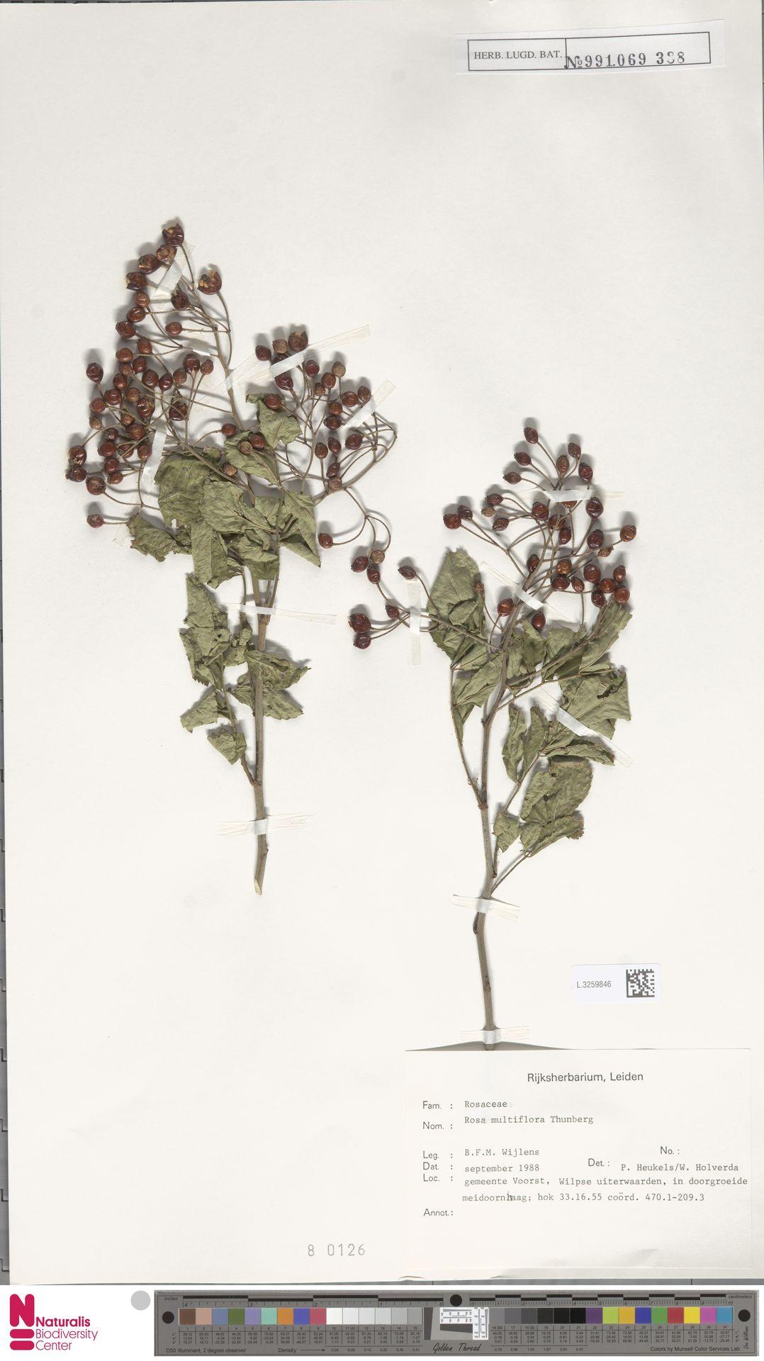 L.3259846 | Rosa multiflora Thunb.