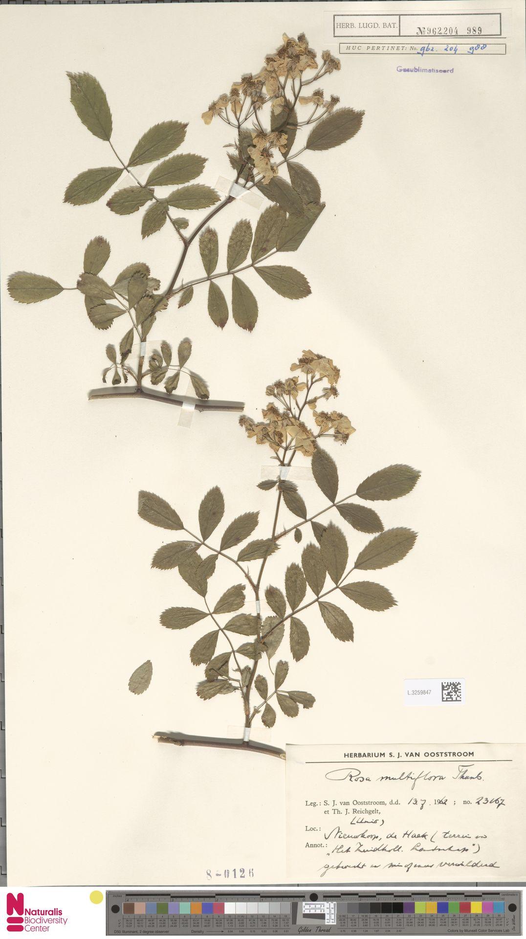 L.3259847 | Rosa multiflora Thunb.