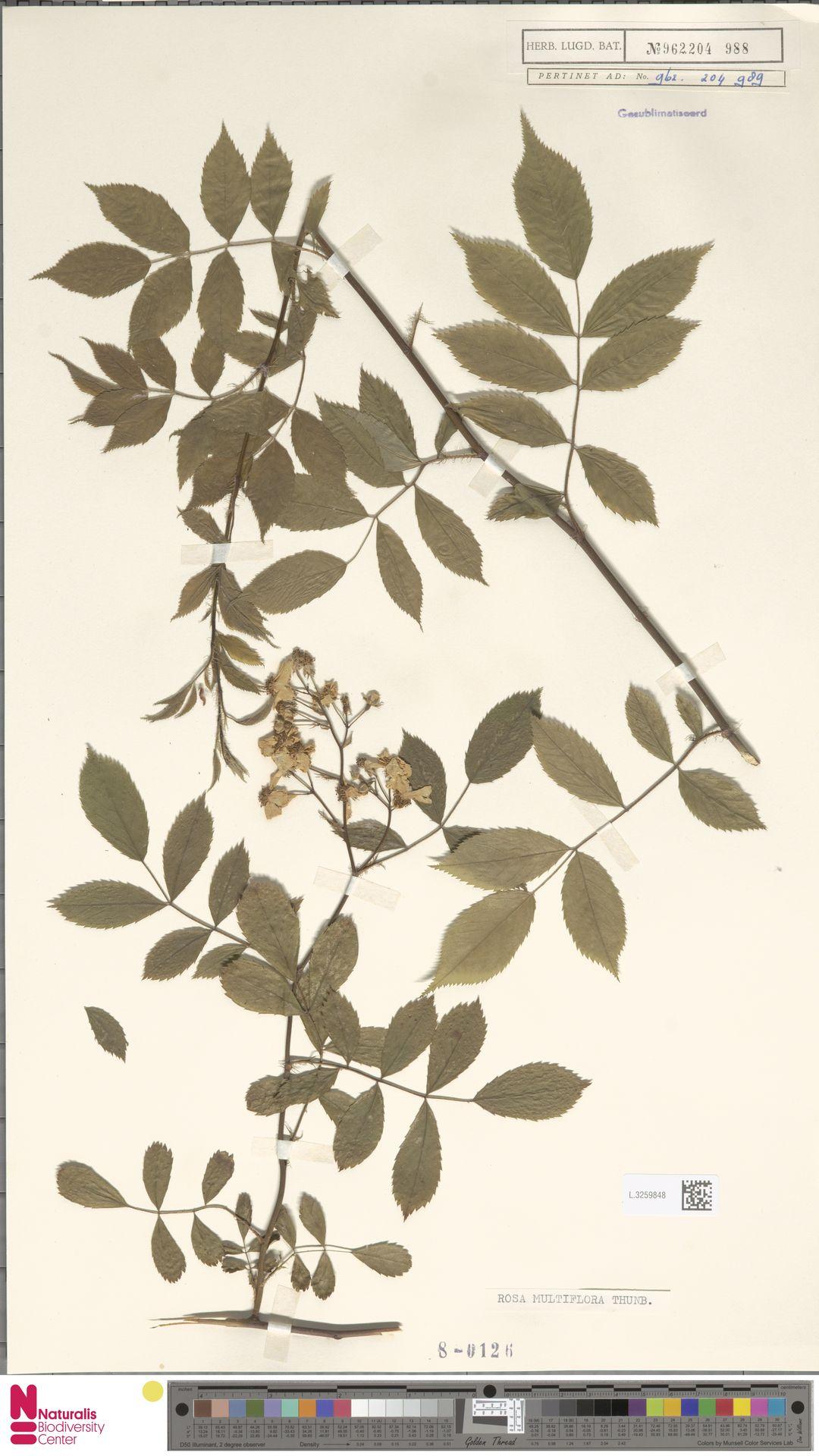 L.3259848 | Rosa multiflora Thunb.