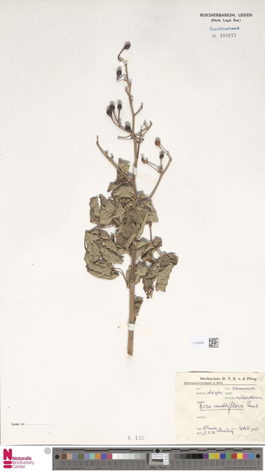 L.3259849 | Rosa multiflora Thunb.