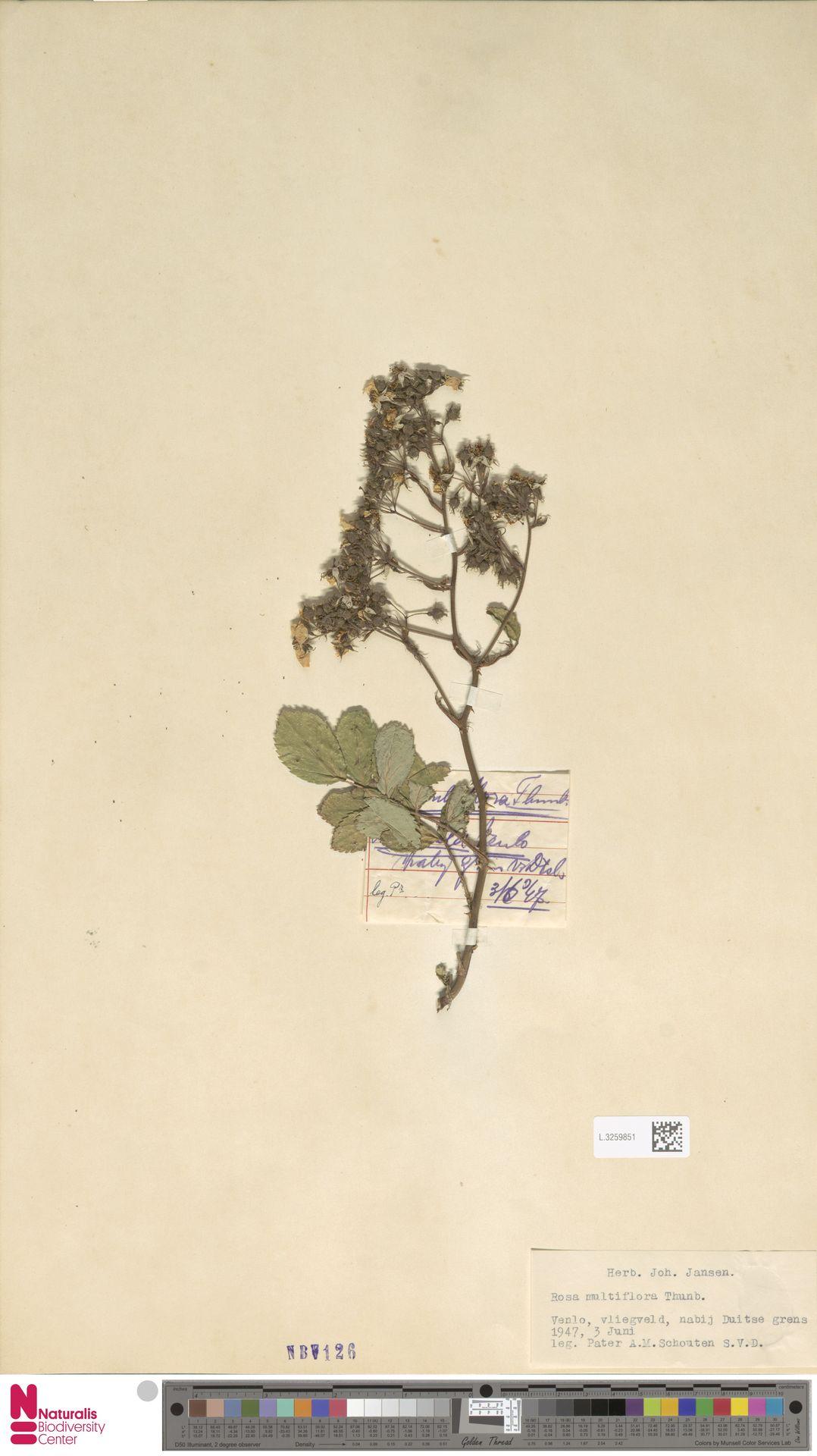 L.3259851 | Rosa multiflora Thunb.