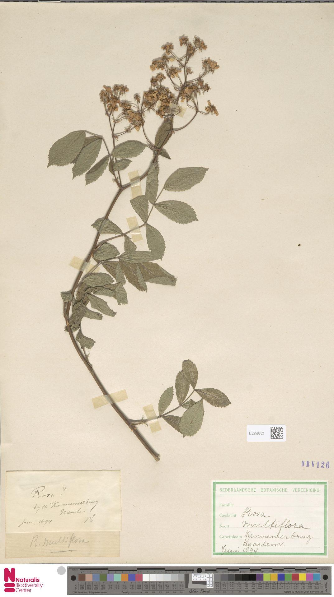 L.3259852 | Rosa multiflora Thunb.