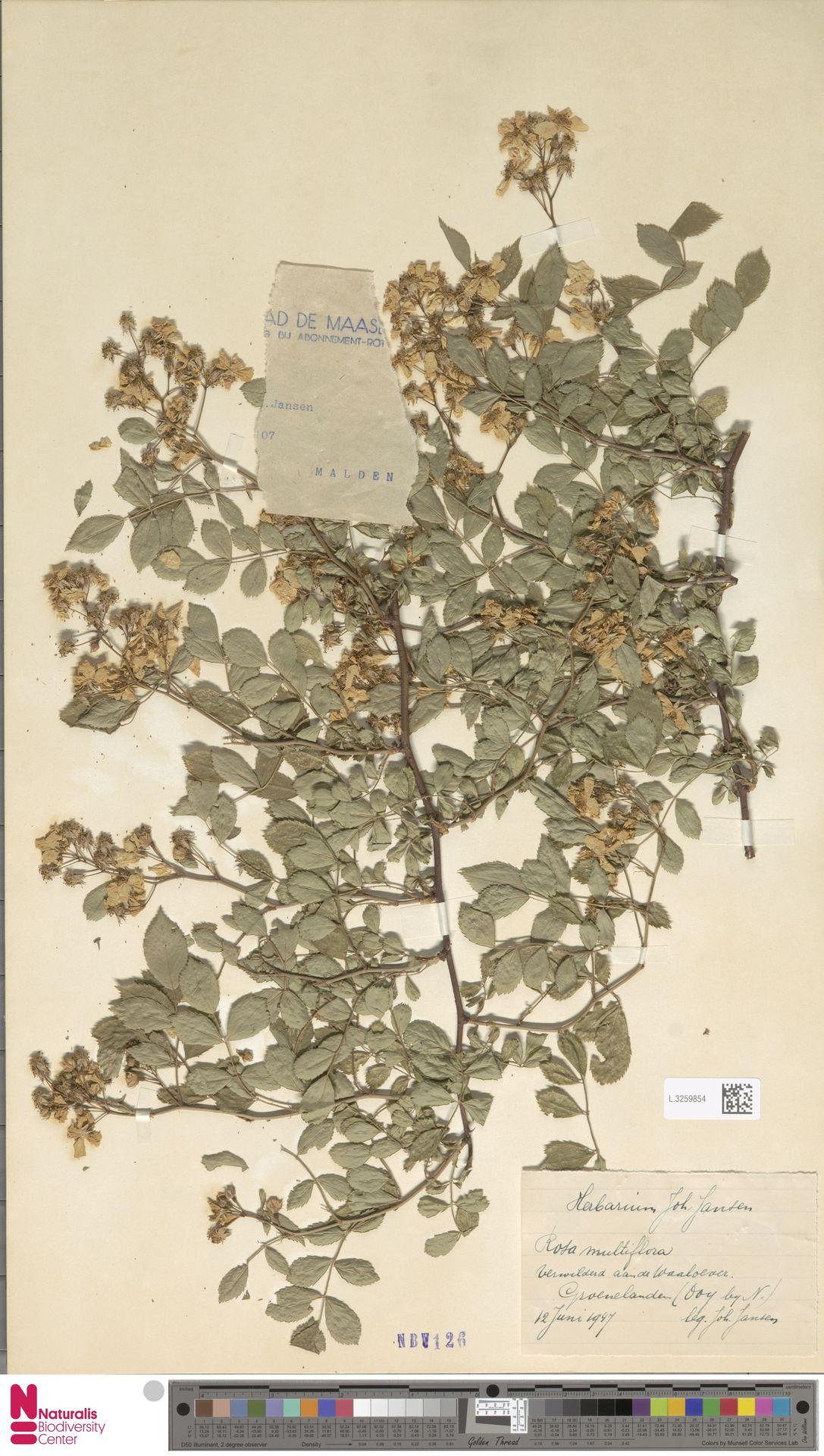 L.3259854 | Rosa multiflora Thunb.