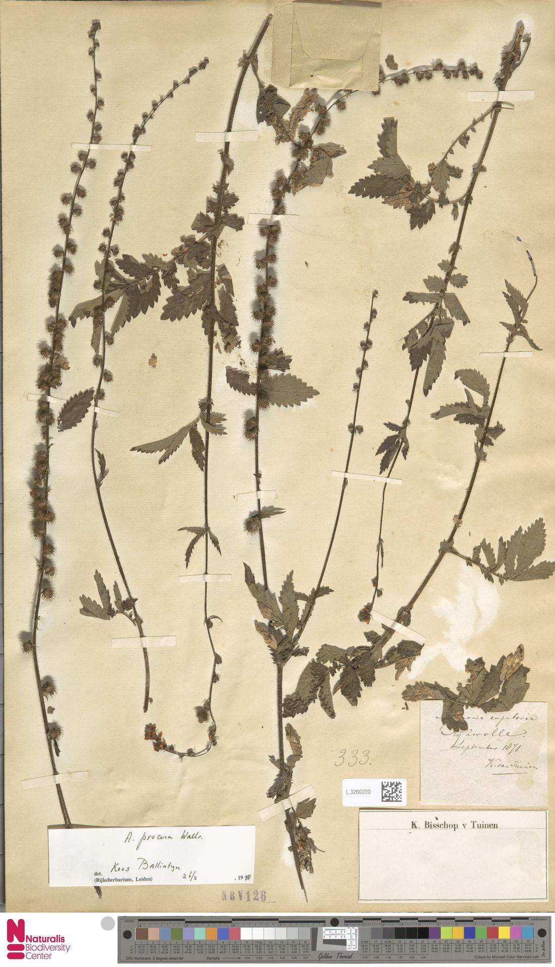 L.3260220 | Agrimonia eupatoria L.