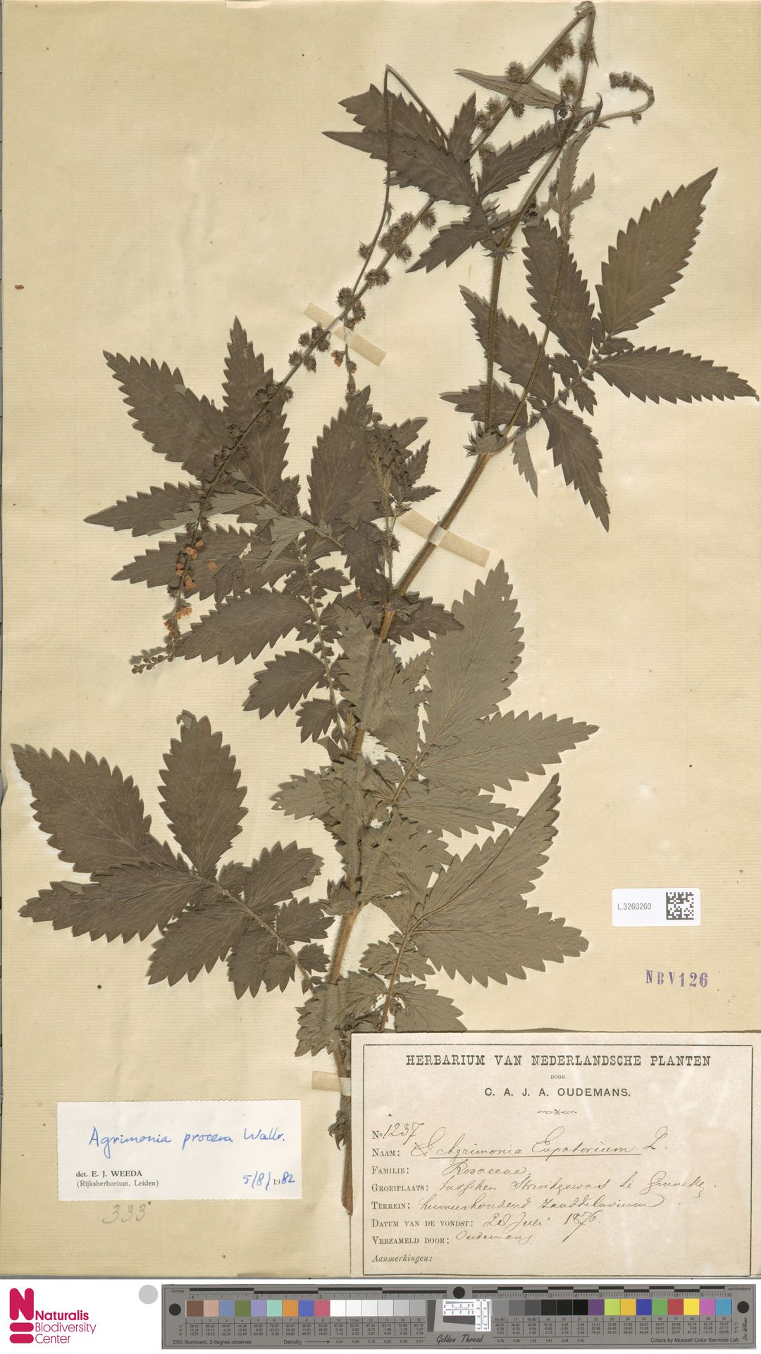 L.3260260 | Agrimonia eupatoria L.