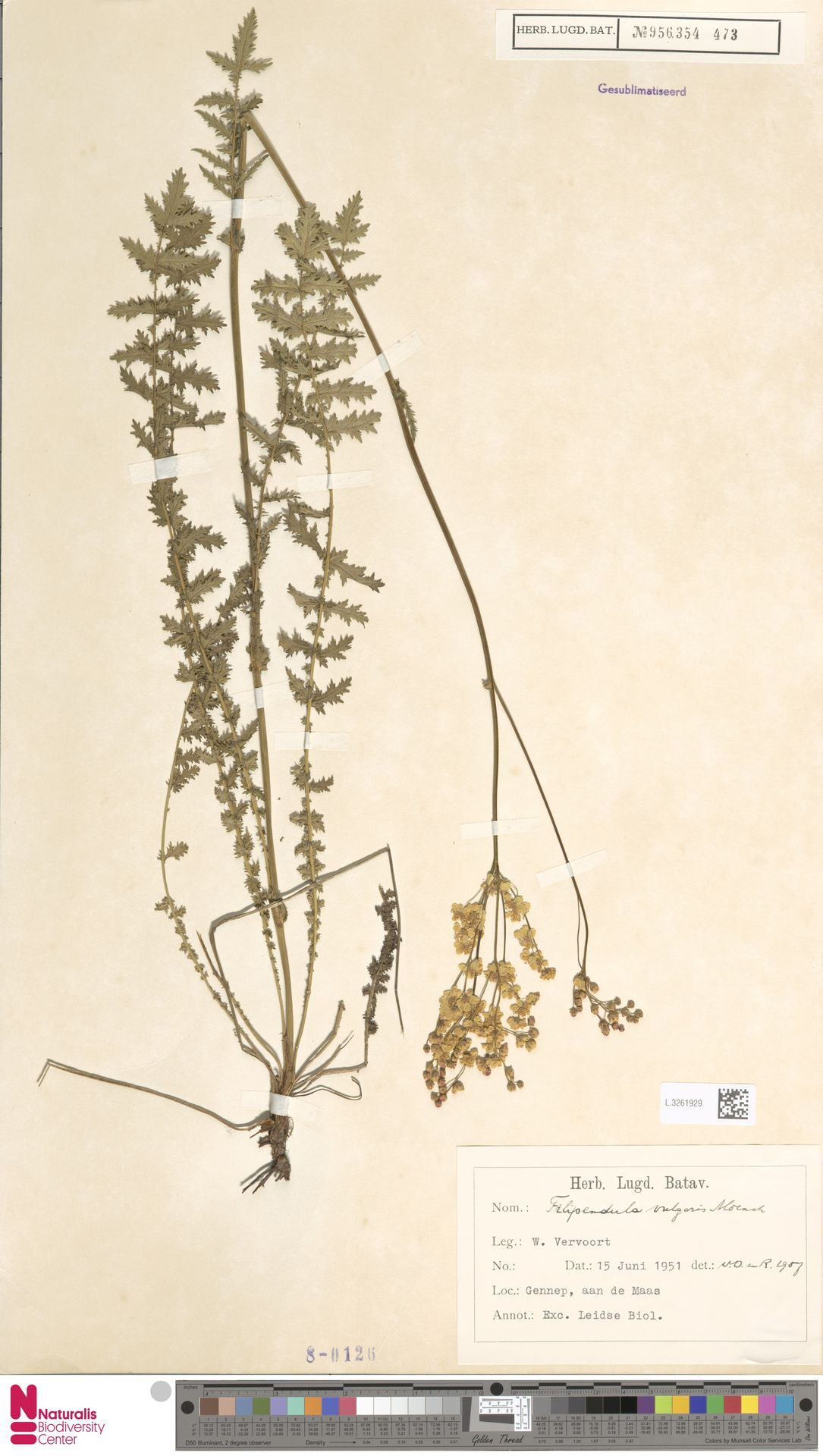 L.3261929 | Filipendula vulgaris Moench