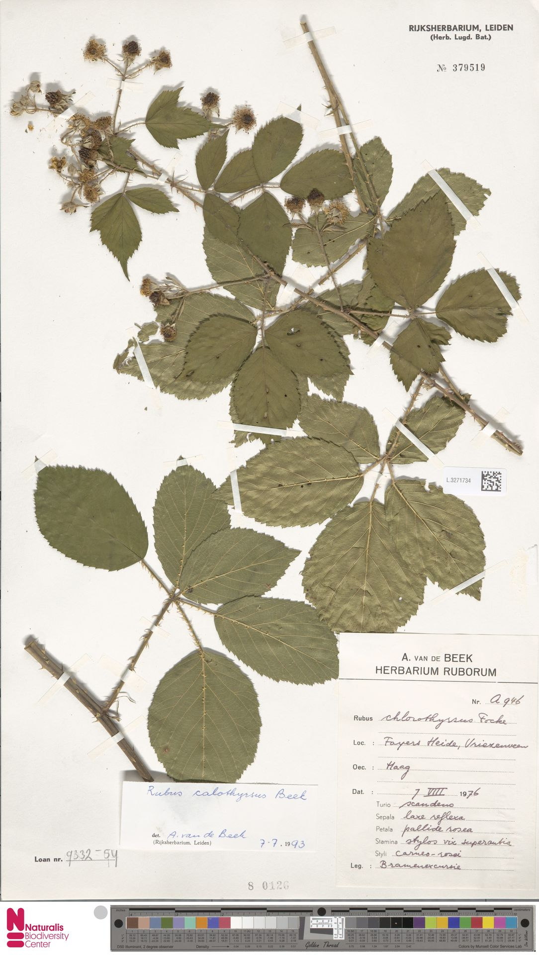 L.3271734   Rubus calothyrsus A.Beek