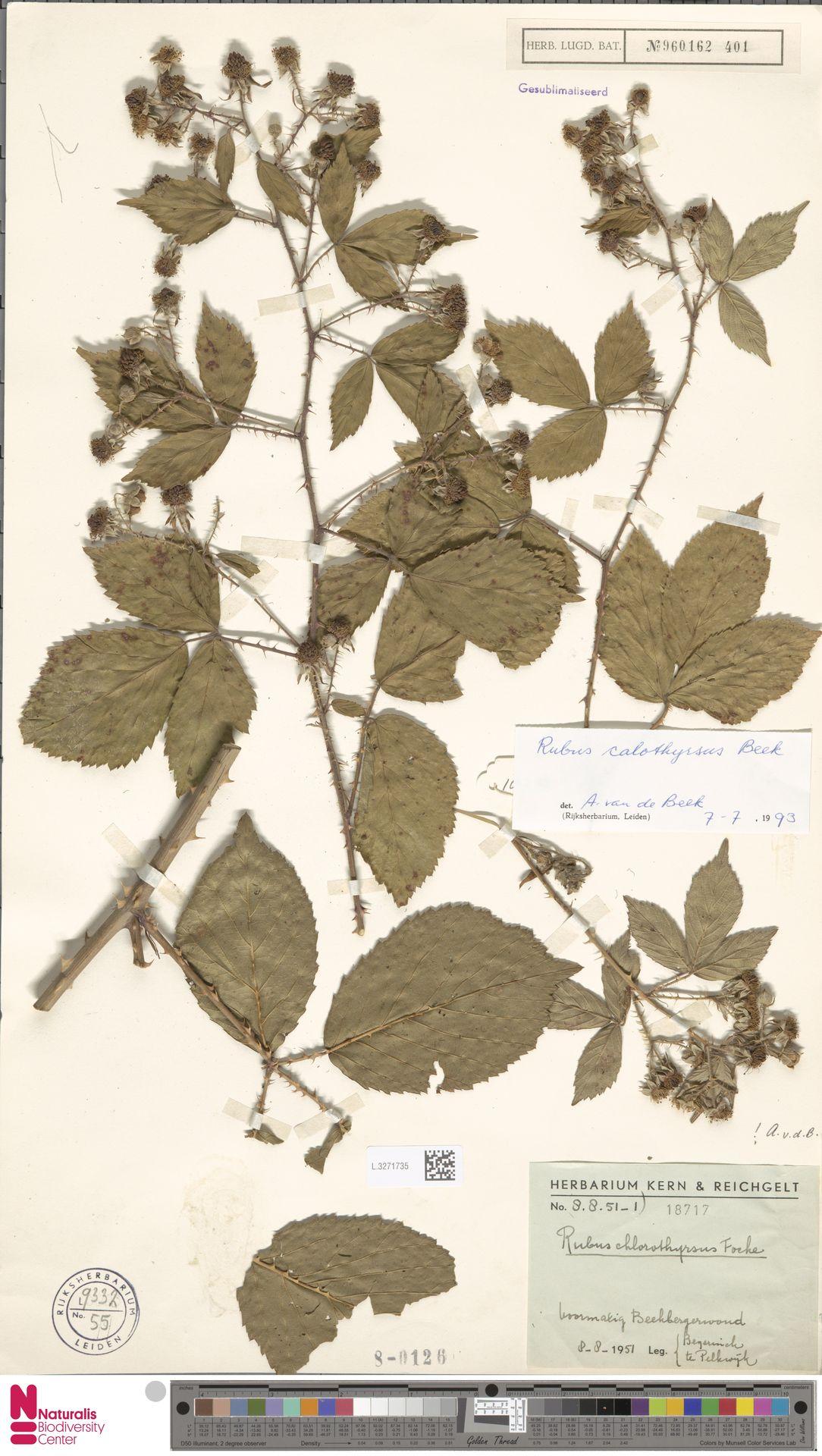 L.3271735 | Rubus calothyrsus A.Beek