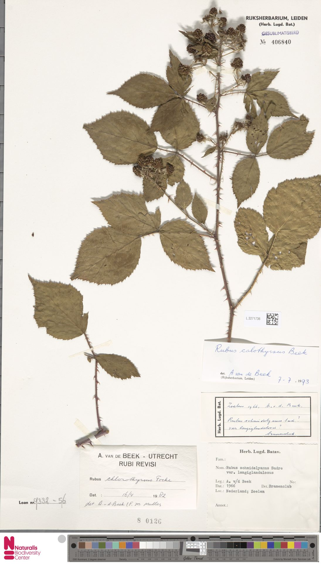 L.3271736 | Rubus calothyrsus A.Beek