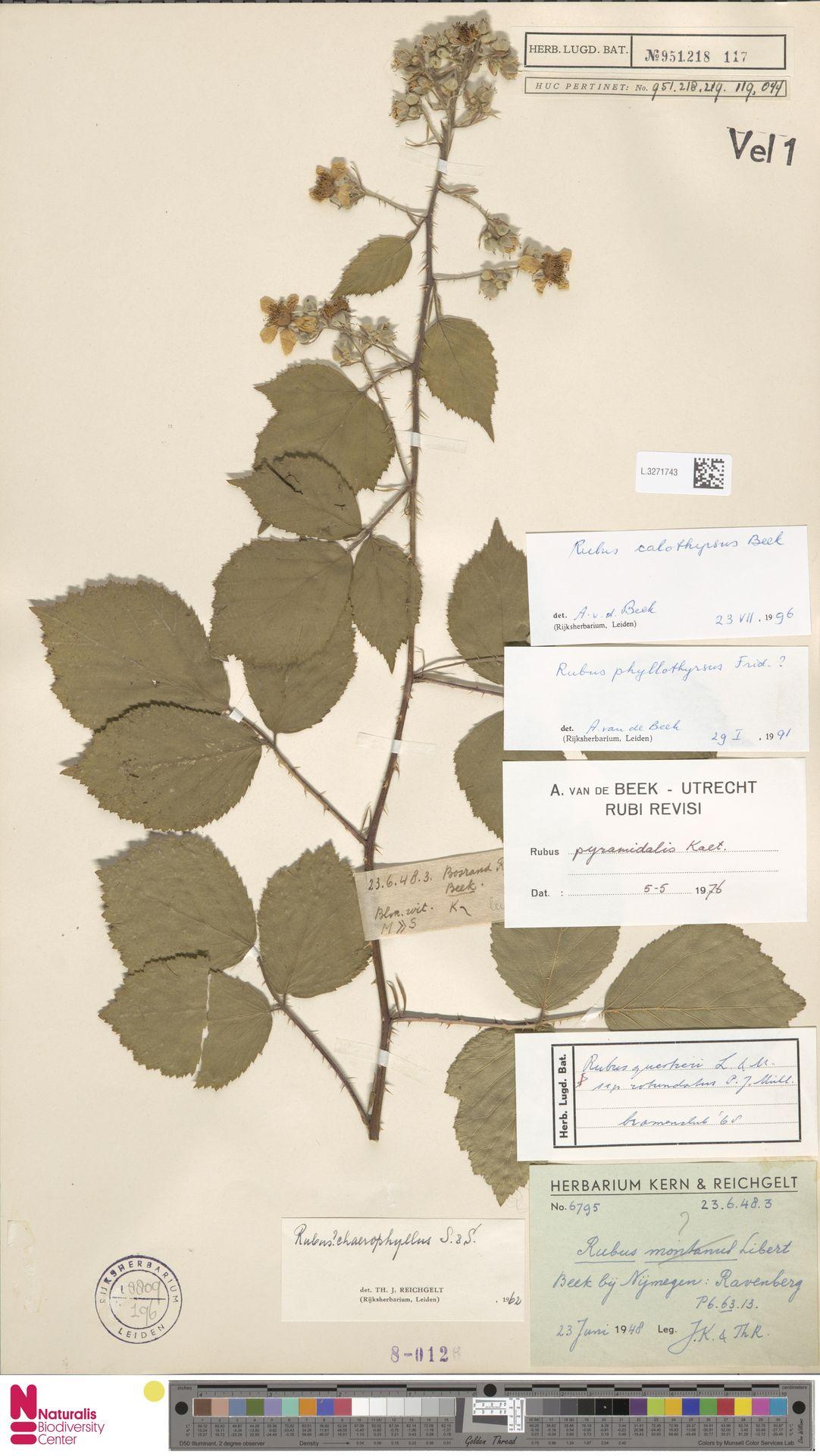 L.3271743 | Rubus calothyrsus A.Beek