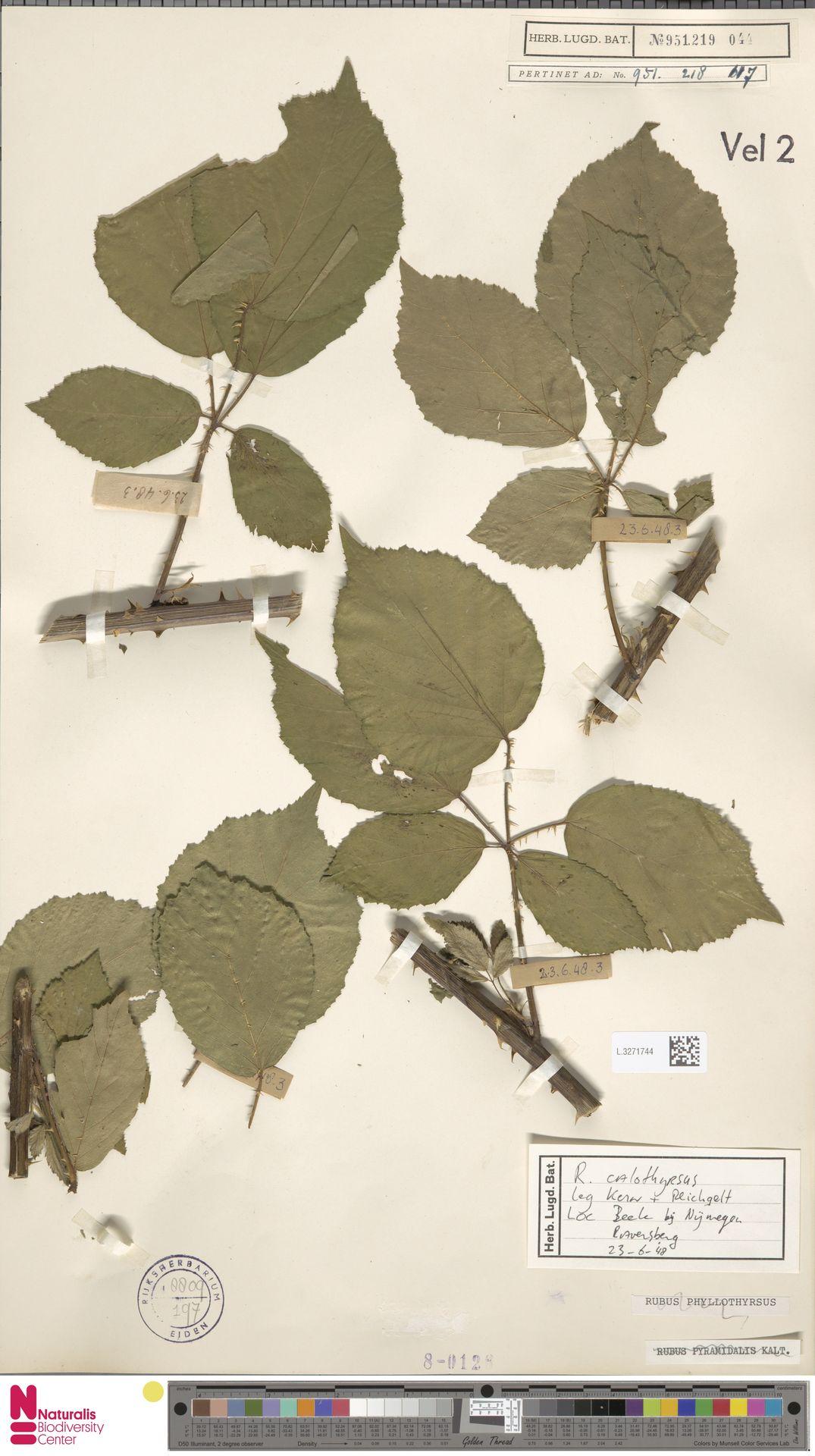 L.3271744 | Rubus calothyrsus A.Beek