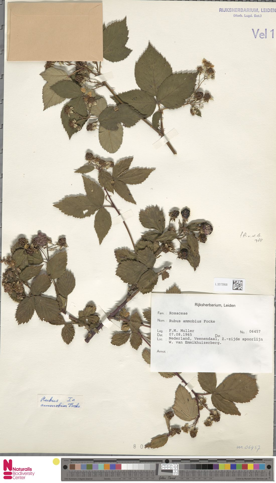 L.3272958 | Rubus ammobius Focke
