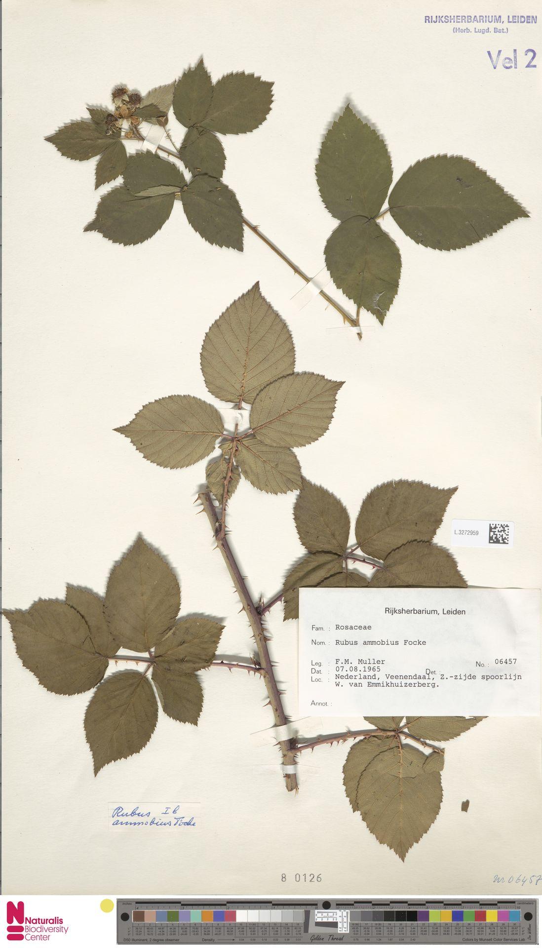 L.3272959 | Rubus ammobius Focke