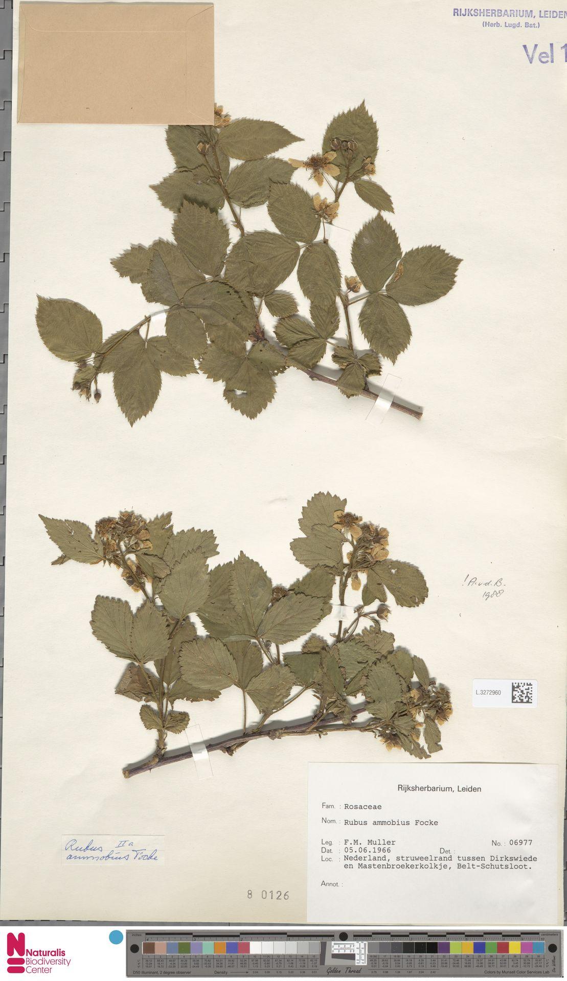 L.3272960   Rubus ammobius Focke