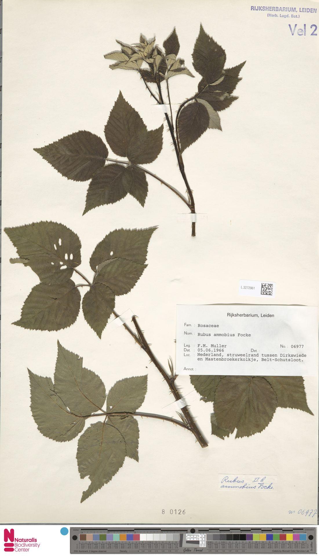 L.3272961 | Rubus ammobius Focke