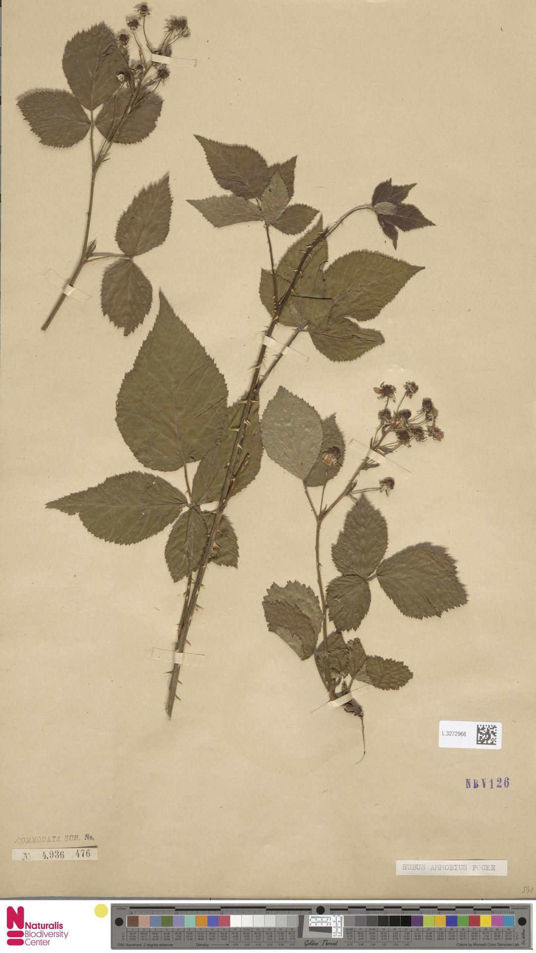L.3272966 | Rubus ammobius Focke