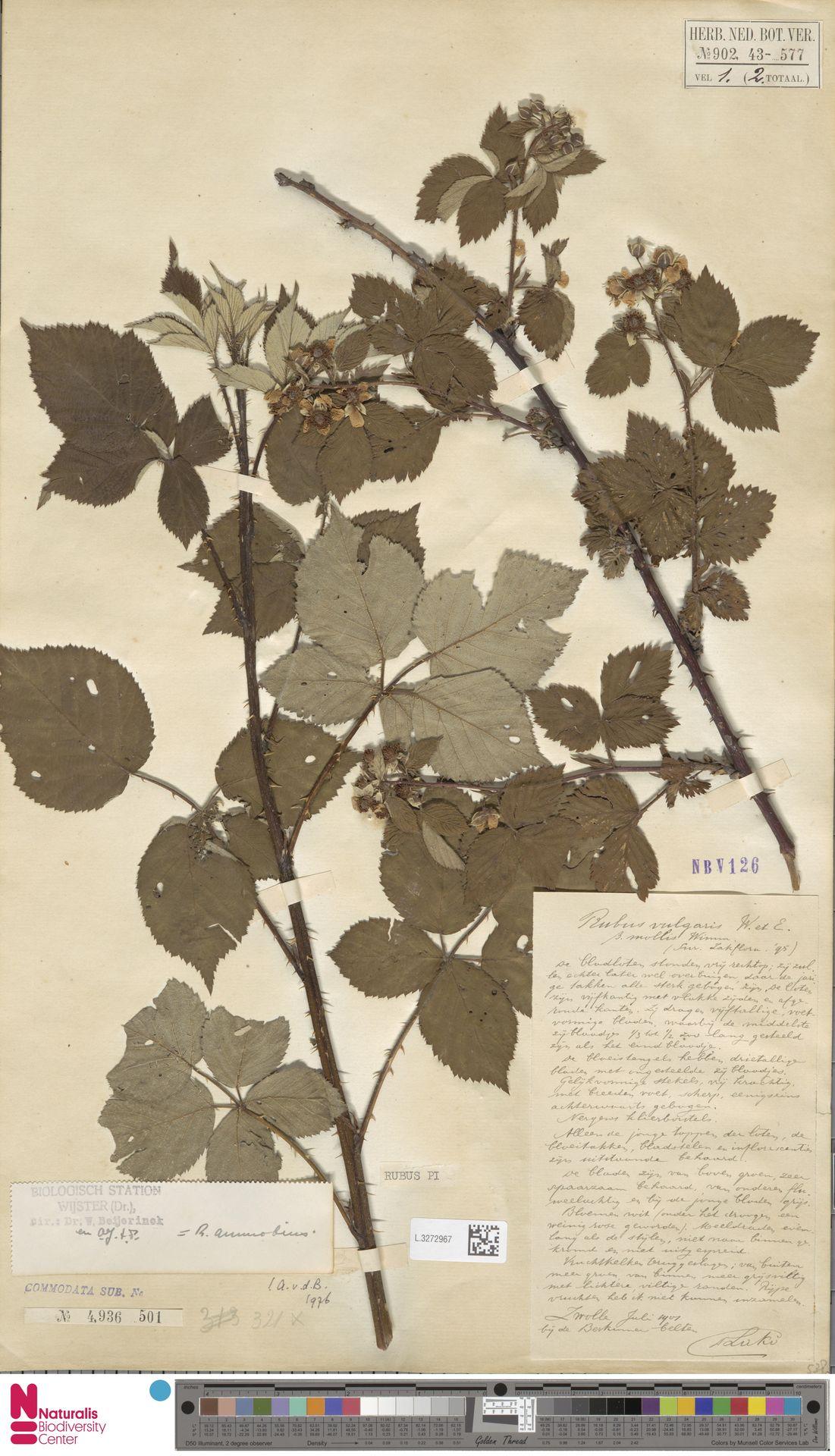 L.3272967 | Rubus ammobius Focke