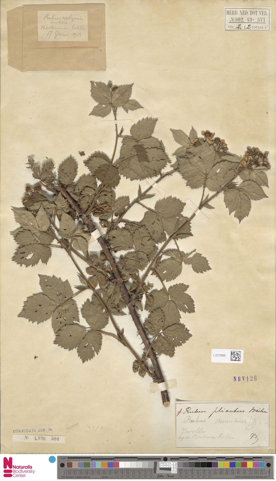 L.3272968   Rubus ammobius Focke