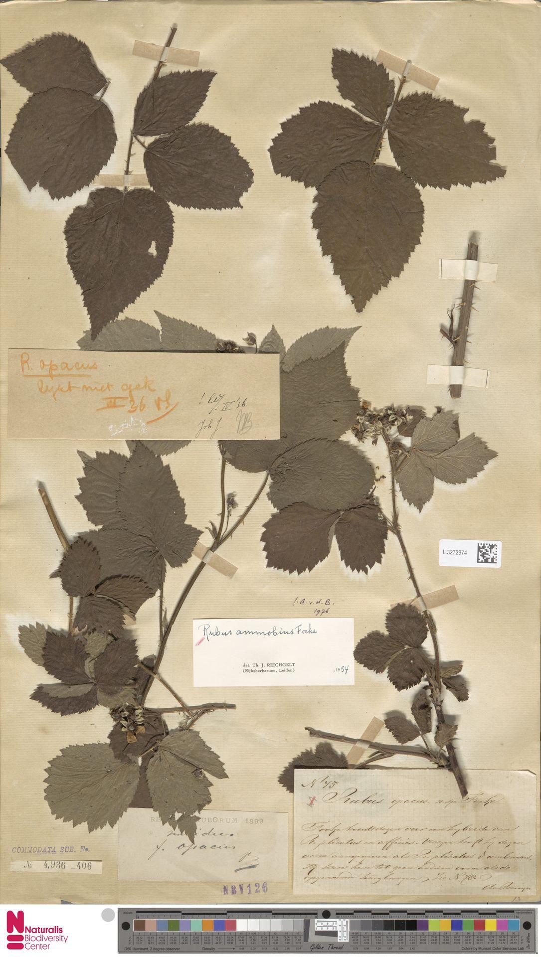L.3272974   Rubus ammobius Focke