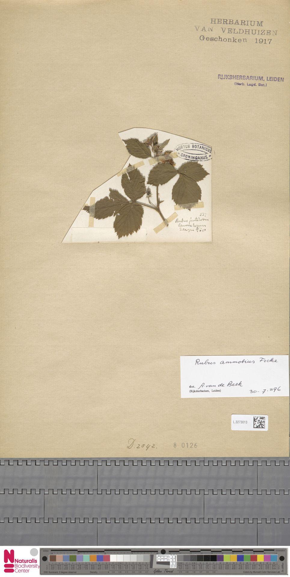 L.3273013 | Rubus ammobius Focke