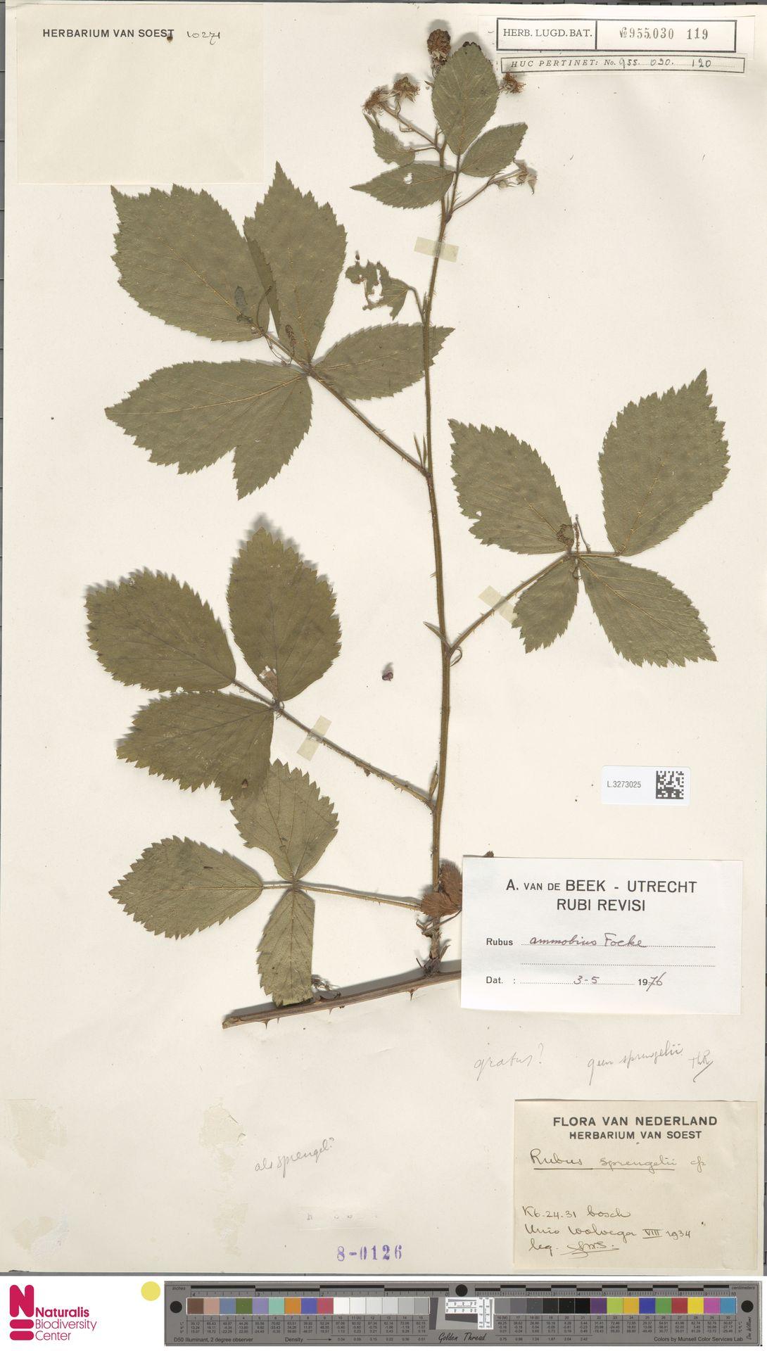 L.3273025   Rubus ammobius Focke