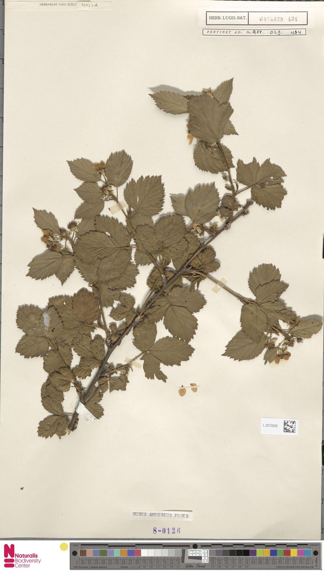 L.3273028 | Rubus ammobius Focke