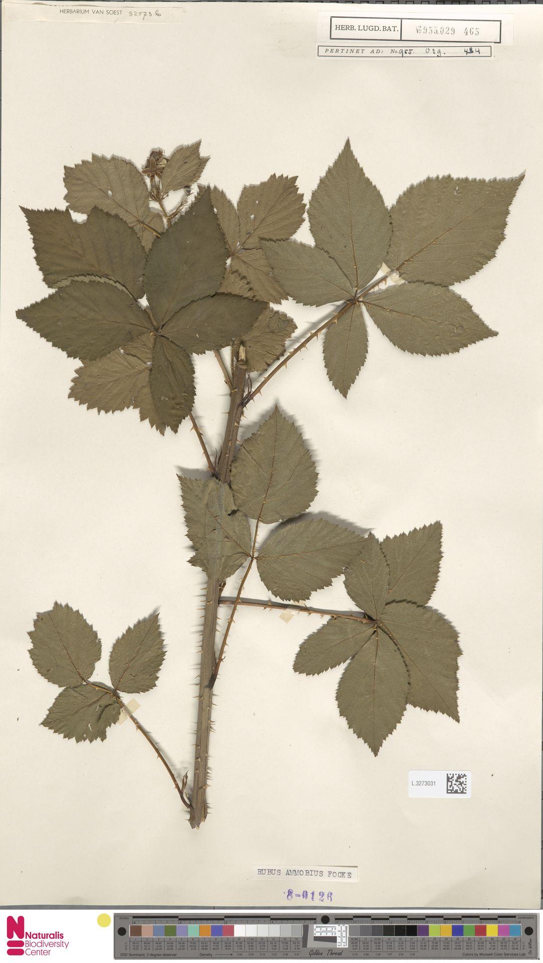 L.3273031   Rubus ammobius Focke