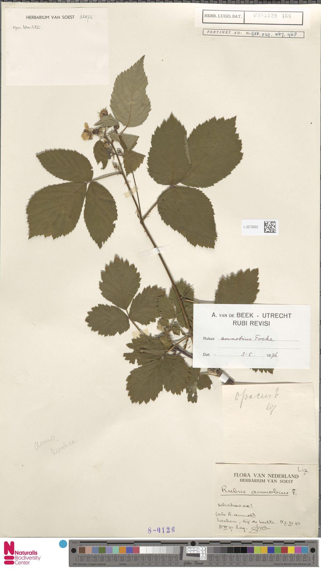 L.3273033 | Rubus ammobius Focke